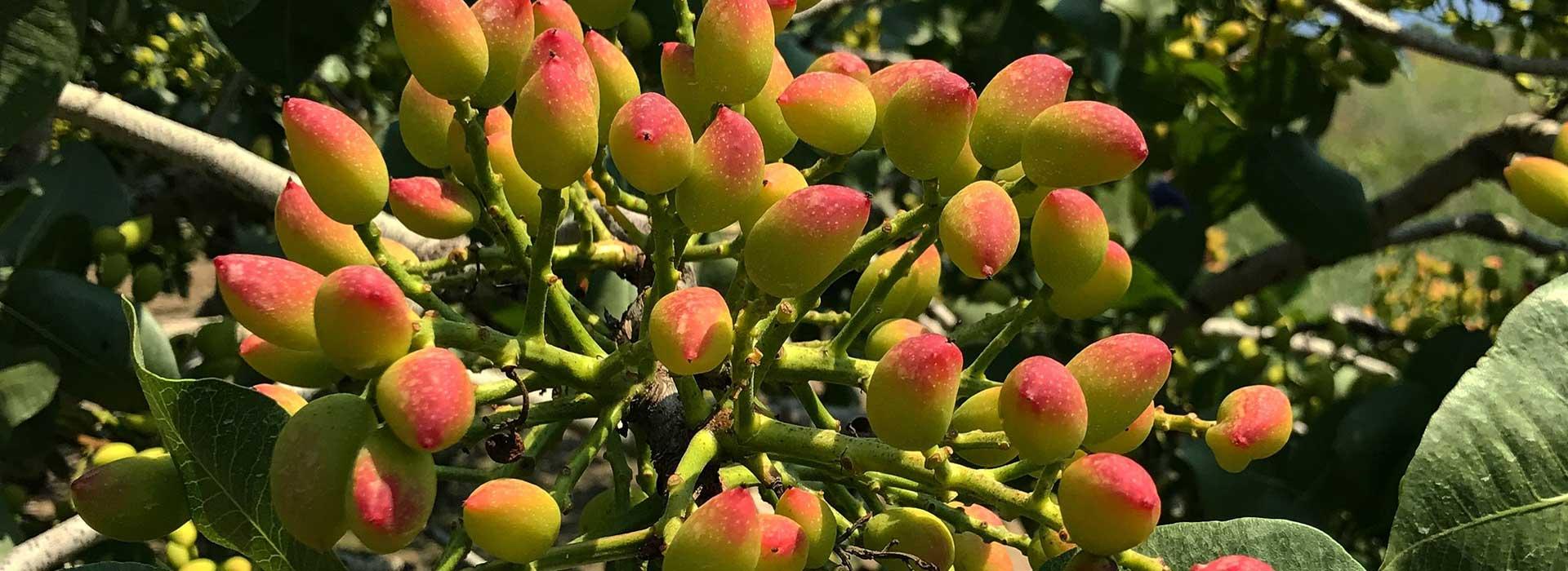 pistachio-iran-2